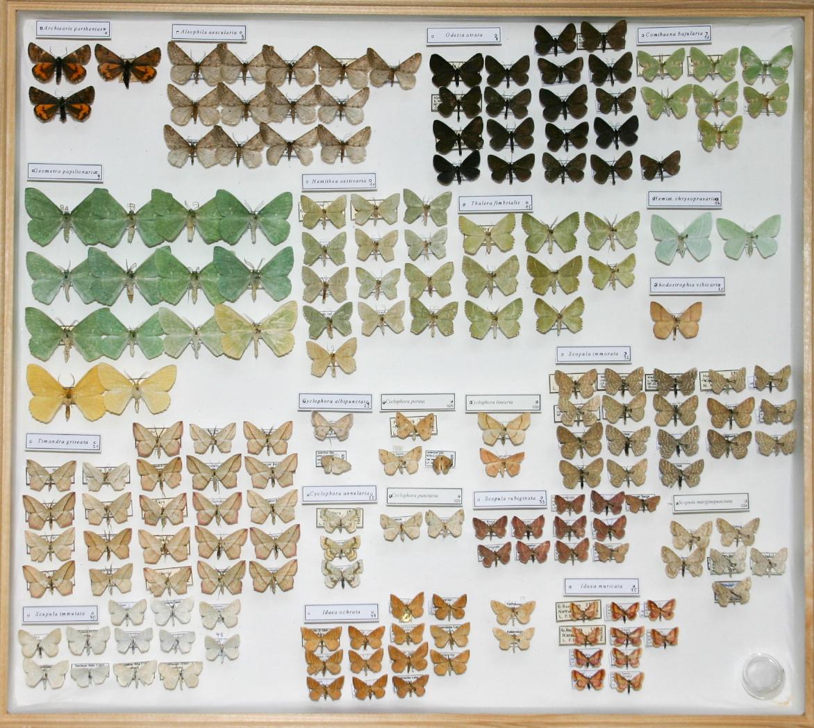 Schmetterlingssammlung Bernd Heinze, Havelberg